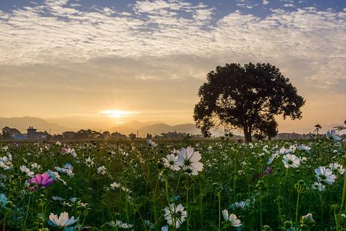 sunrise cosmos 日出 新社花海 a6000 sel24f18za