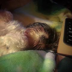 This lap is made for sleeps not works!!  #dog #shihtzu #pet #pets #dogoftheday #shihtzulovers #mydog #shihtzusofinstagram #instadog #instagramdogs #dogphotography #dogsagram #puppy #dogsofinstagram #ilovemyshihtzu #shihtzunation #instacute #dogoftheday #p