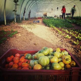 Dernières tomates