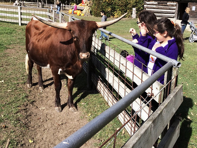 Longhorn steer at The Farm 20141012