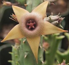 Huernia procumbens hybrid