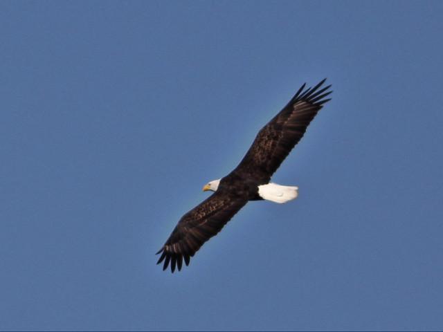 Bald Eagle 20141017