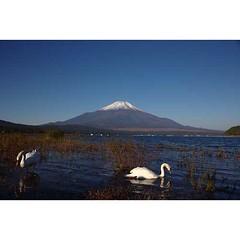 Mt.Fuji & swan at Lake Yamanaka 🗻👿