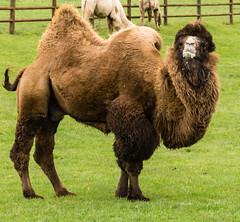 alpaca(0.0), animal(1.0), mammal(1.0), fauna(1.0), camel(1.0), arabian camel(1.0), pasture(1.0),