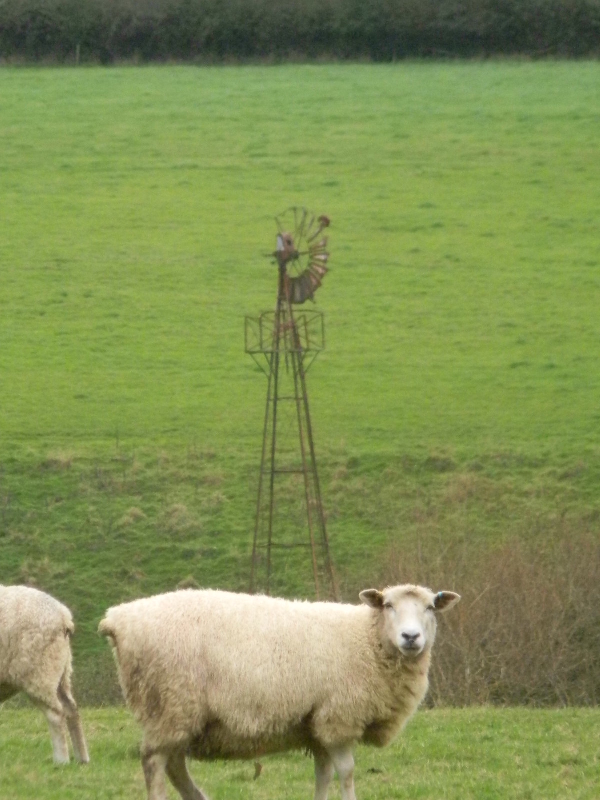 Sheep and windmilly thing Cowden to Hever