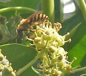 Ivy bee on ivy flower