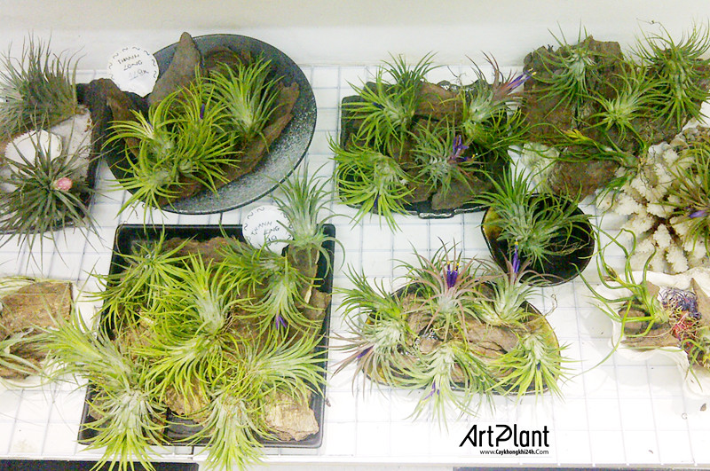 art plant | cay khong khi | tieu canh khong khi | terrarium | khong khi thanh long