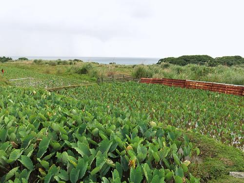 芋頭是蘭嶼傳統的重要主食,也與蘭嶼的文化息息相關。攝影/陳品君