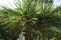 date palm(0.0), arecales(0.0), borassus flabellifer(0.0), tree(0.0), saw palmetto(0.0), twig(0.0), larch(1.0), conifer(1.0), evergreen(1.0), branch(1.0), pine(1.0), casuarina(1.0), plant(1.0), fir(1.0), spruce(1.0),