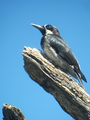 Acorn Woodpecker, Madera Canyon, AZ, 7/19/2014