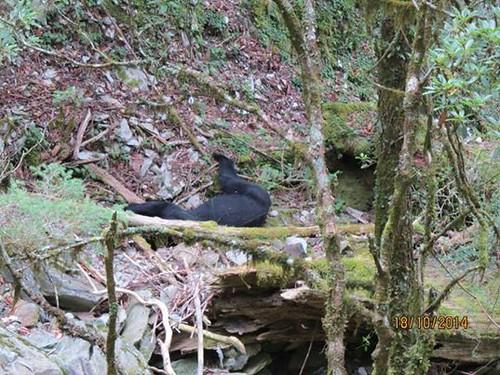 向陽山屋發現死亡台灣黑熊,原因待查(圖片由山友拍攝,台東林管處提供)