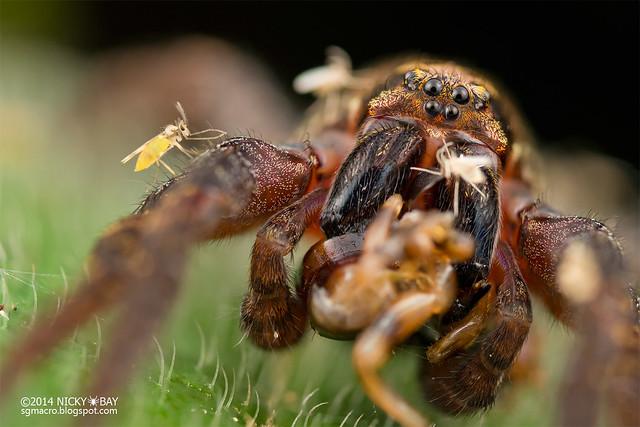 Wandering spider (Ctenidae) with biting midges (Ceratopogonidae) - DSC_6657
