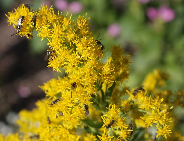 more than a dozen little bees on goldenrod