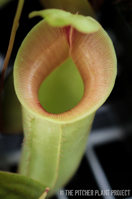 Nepenthes ventricosa x tiveyi