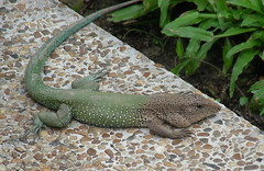 wildlife(0.0), animal(1.0), green lizard(1.0), reptile(1.0), lizard(1.0), green(1.0), fauna(1.0), lacerta(1.0), lacertidae(1.0), scaled reptile(1.0),