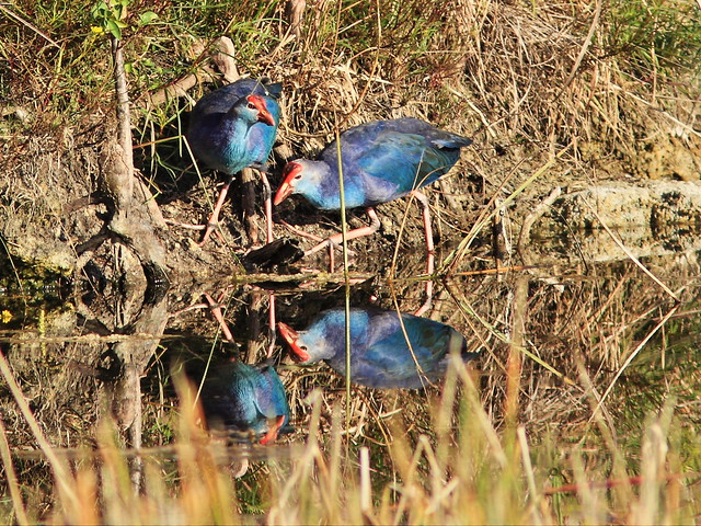 Purple Swamphens 01-20141030