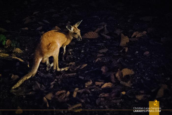 Baby Kangaroo at the Chiang Mai Night Safari