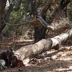 Fallen oaks at Rocky Oaks Park