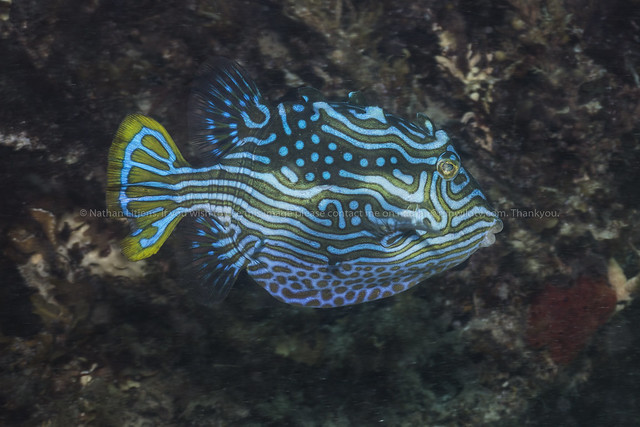 Shaw's cowfish (male) (Aracana aurita)