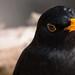 Amsel blackbird by peter vogel.troll