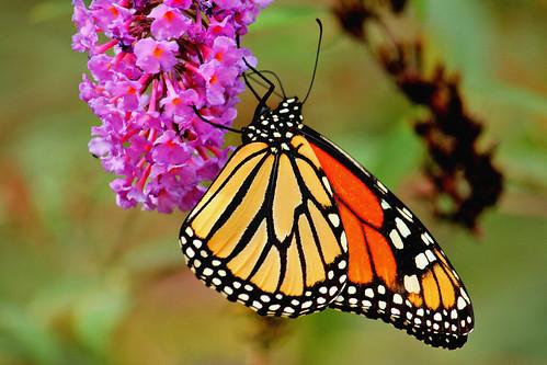 butterfly landscape butterflies northcarolina monarch gastonia