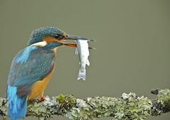 Kingfisher having lunch
