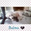 Bulma :heart:  #poodles #dogs #instadogs #pets #caes #cachorros #perros #chiens