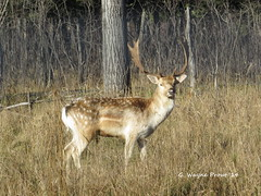 Fallow Deer (Dama dama) - Cedar Meadows Resort and Spa - Timmins Ontario Canada