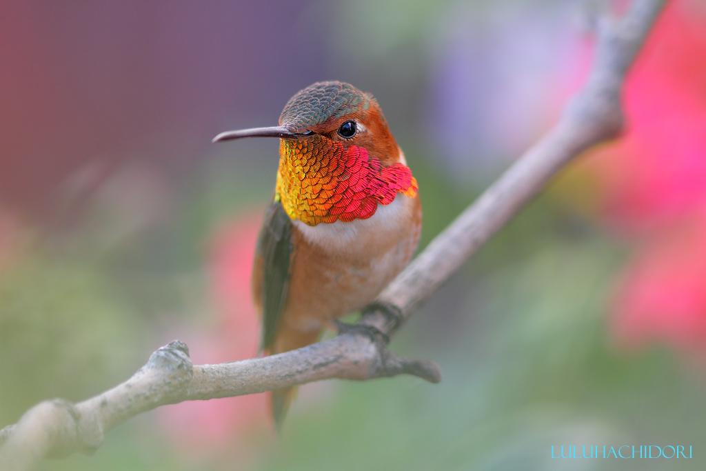 Allen's-Hummingbird-111914