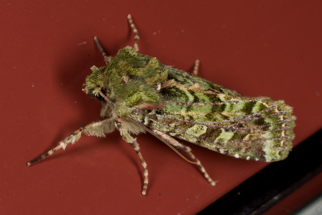 Mahoe stripper moth - Photo (c) Jon Sullivan, some rights reserved (CC BY-NC)