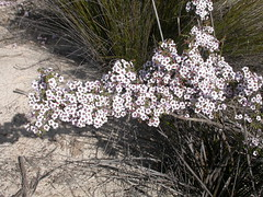 Baeckea crassifolia, Monarto Conservation Park, South Australia 02