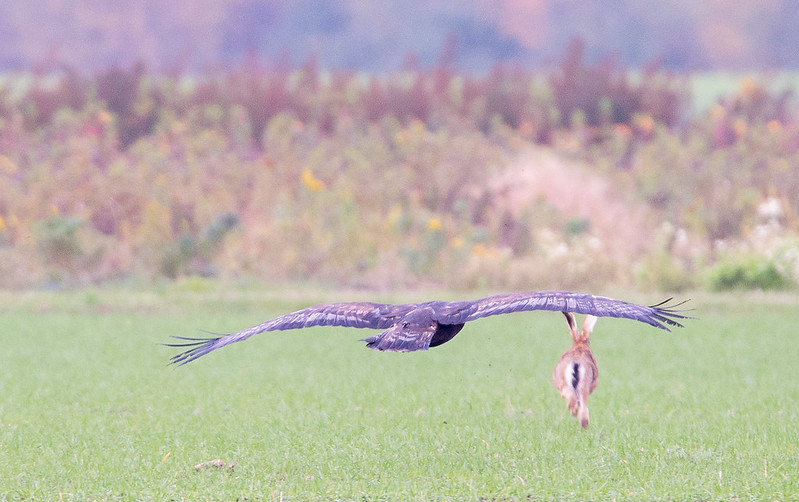 Stone Eagle hunting