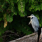 Grey Heron on Radyr Weir