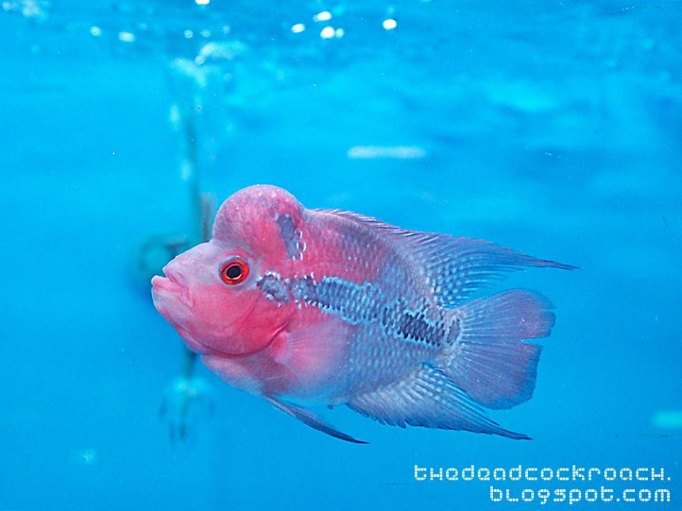fish farm, flowerhorn, jalan lekar, luohan fish, qianhu, sungei tengah, 仟湖, 仟湖鱼场, qian hu, where to go in singapore, singapore