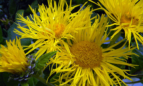 Spiky yellow flowers on the seawall near Granville Island in Vancouver, Canada