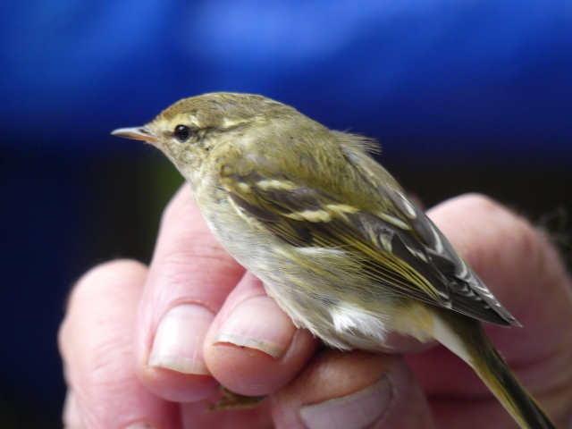 Yellow-browed Warbler (A.Hannington)