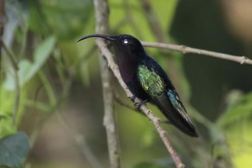birds knuthansen stlucia