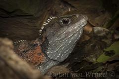 Sphenodon punctatus_DvW2016-1488-2