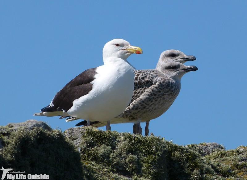 P1140934 - Lesser Black-back Gulls, Skomer Island