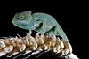 Yemen Chameleon, CaptiveLight, Bournemouth, UK by rmk2112rmk