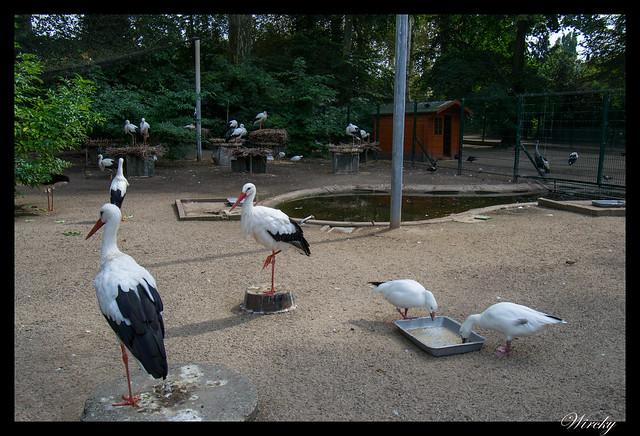 Cigüeña blanca de Alsacia
