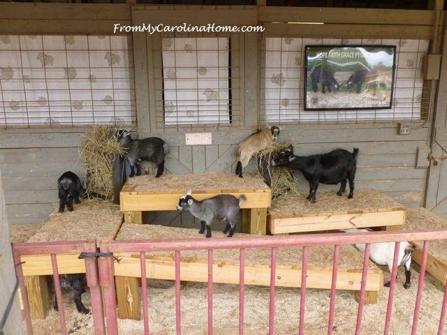 State Fair 2015 - 13 pigmy goats
