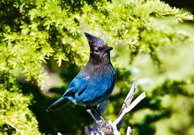 Majestic blue Stellar Jay