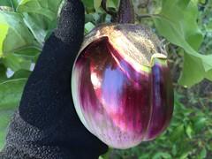 fall harvest prosperosa eggplant IMG_3470