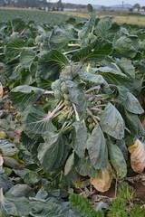 Brassica oleracea L. var. gemmifera DC.  Brassicaceae-brussel sprouts
