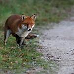 Purbeck Fox 16-11-30-0010