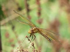 Golden-winged Skimmer (juv male) 8-15-15, John Bunker Sands Wetland Center, Seagoville Texas