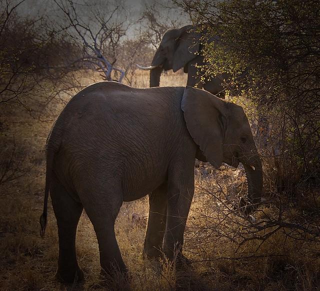Peaceful elephants