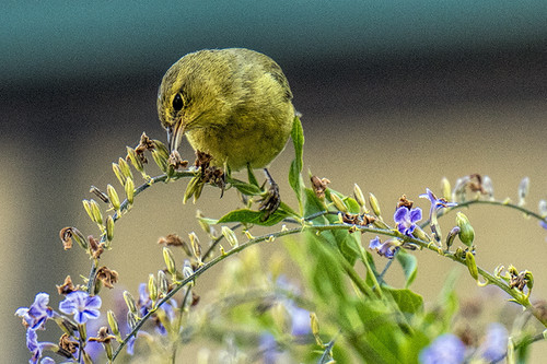 CA: Orange-crowned Warbler