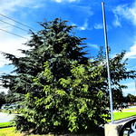 2. Oktoober 2015 - 16:08 - Well, I think that back tree is a spruce, guessing from the color & the needles. I am not a tree expert! It's even more complicated by the two trees growing together.   But it was a lovely day & the bright grass went very well with the sky.....